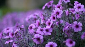 flowers blossoms plants sping lovely nature flowers flower purple