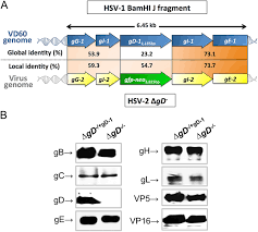 Challenge And Herpes Herpes Simplex Type 2 Virus Deleted In Glycoprotein D Protects