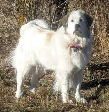 great pyrenees rescue provides wonderful dogs to good homes rural revolution questions about pyrenees