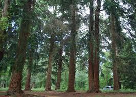 rhinefield s trees cerocjivedancer