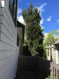 overgrown juniper removal ask an expert