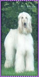 afghan hound and poodle aaawww misty afghan hound white show dog hosanna supernatural