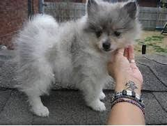 american eskimo dog for sale in hyderabad the 25 best miniature husky for sale ideas on pinterest baby