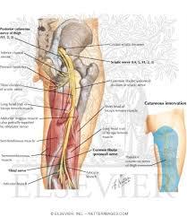 Bicep Innervation Netter U0027s Concise Orthopaedic Anatomy