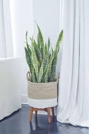 best 25 snake plant ideas only on pinterest palm house plants