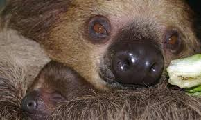 4 toed sloth linne s two toed sloth zoo