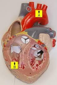 Anatomy Of The Heart Lab Human Anatomy Lab Sample Exam 3 Questions