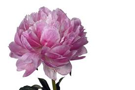 Peony Flowers Peonies Free Pictures On Pixabay