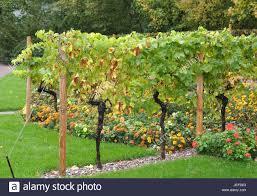 trellis vine stock photos u0026 trellis vine stock images alamy