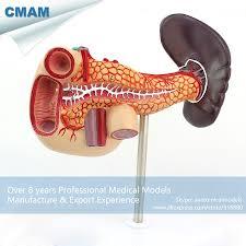 Anatomy Pancreas Human Body Online Get Cheap Medical Pancreas Aliexpress Com Alibaba Group