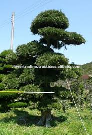large outdoor bonsai trees made in japan buy large outdoor