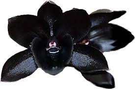 black orchid flower sleuthsayers black orchid