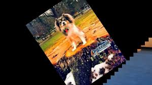 australian shepherd knoxville tn zero obedience u0026 biting people to 100 obedient best tn dog