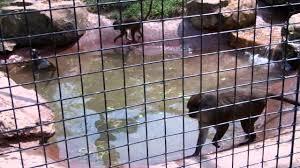 swamp monkeys swimming at the fort wayne children u0027s zoo youtube