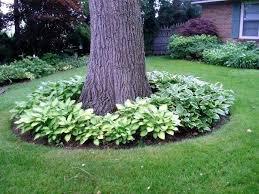 around trees and hostas around my 2 backyard trees theres 3