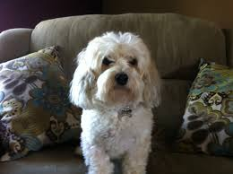 maltipoo pictures after haircut bing images sage pinterest