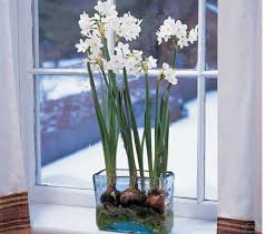 paperwhite flowers paperwhites my favorite flower for winter and early