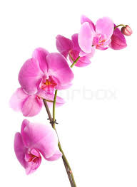 Flower Orchid Buy Stock Photos Of Orchid Colourbox