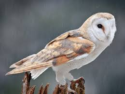 Where Does The Barn Owl Live Snowy Owl Identification All About Birds Cornell Lab Of
