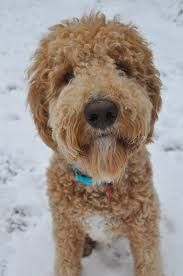 Gingerdoodle by Goldendoodle Wikipedia