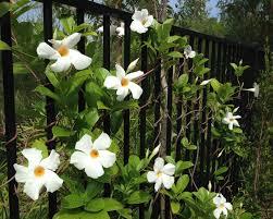 Mandevilla Plant Diseases - gardensonline mandevilla x sun parasol