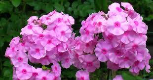 phlox flower growing phlox the hardy garden perennial