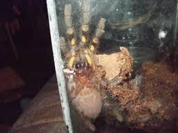 poecilotheria fasciata sri lankan ornamental tree spider