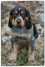 bluetick coonhound name origin anabelle bluetick coonhound puppy beagle pinterest bluetick