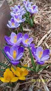 Spring Flower Garden 103 Best Daffodils Crocus U0026 Narcissus In My Garden Images On