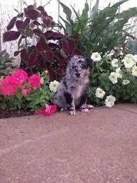 1 year old australian shepherd for sale australian shepherd puppy for sale in gap pa adn 38612 on