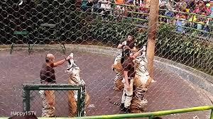Jual Sho Metal Di Bogor taman safari indonesia bogor terbaru tiger show harga tiket masuk
