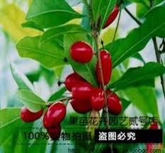 macadamia nut trees seedlings seedlings nuts gui heat on the 1st