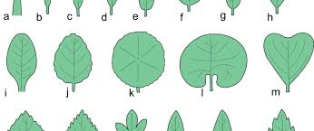 types of leaves the tree center