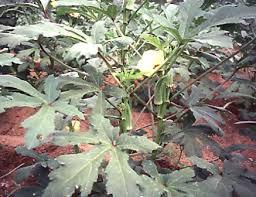 Okra Plant Diseases - okra agrifutures australia