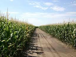 irrigated corn pivot irrigated corn in hall county nebraska yield estimated 220