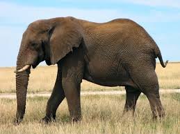 african bush elephant photos free download u2013 animals and birds