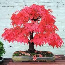 japanese maple palmatum atropurpureum landscaping tree seeds