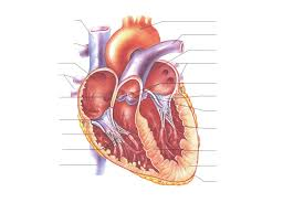 parts of the human science human heart anatomy quiz at best