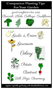 Tips For Planting A Vegetable Garden by Companion Planting Tips For Cruciferous Vegetables A Healthy