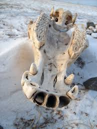 animal skull free stock images by libreshot
