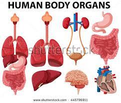 Anatomy Of Human Body Organs Human Organ Anatomy Set Illustration Stock Vector 314715836