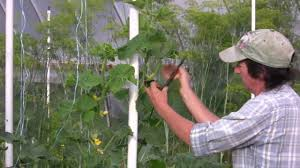 rescuing a trellised cucumber from a tomato clip youtube