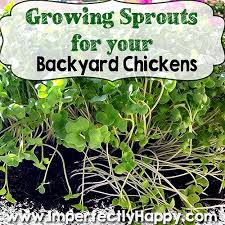 Chickens Backyard Sprouts For Backyard Chickens Imperfectly Happy Homesteading