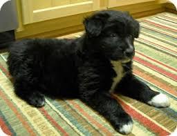 australian shepherd or golden retriever bear adopted puppy winston salem nc australian shepherd