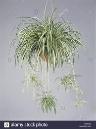 houseplants liliaceae spider plant chlorophytum elatum stock