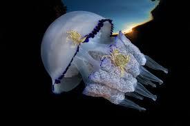 a species of jellyfish rhizostoma pulmo in the gulf of naples