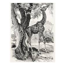 vintage giraffe gifts t shirts art posters u0026 other gift ideas