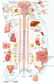 Full Body Muscle Anatomy Best 25 Nervous System Ideas On Pinterest Nerve Cell Function