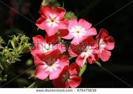 Phlox Flower Phlox Stock Images Royalty Free Images U0026 Vectors Shutterstock