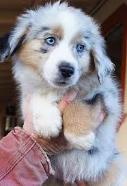 australian shepherd water top 25 best dog noises ideas on pinterest national pug day pet